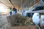 about 10 goats, and growing