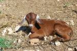 1 day old baby goat