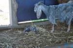 5 min. old baby goat